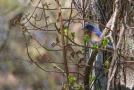 Blue Bird Allens Pond