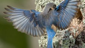 The Search for Eastern Blue Birds